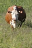 Frontale pieno della mucca dell'Holstein Fotografie Stock