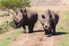 Frontales Gehen der Nashorn-wild lebenden Tiere Stockfotos
