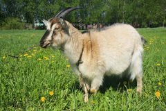 Frontales Portrait einer Ziege Lizenzfreies Stockfoto