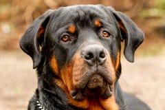 Frontales Rottweiler-Hundeporträt Lizenzfreies Stockbild