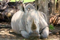 Frontalt foto av den vita noshörningen i skuggan arkivfoton