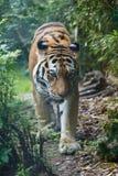 Frontansicht eines Amur-Tigers im Wald lizenzfreie stockfotografie
