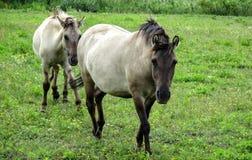 Frontansicht von zwei Konik-Pferden lizenzfreies stockfoto