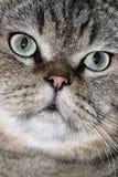 Fronte adorabile del gatto fotografia stock libera da diritti