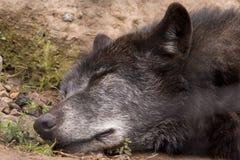 Fronte alto vicino di lupus di sonno Wolf Canis sulla terra immagine stock libera da diritti