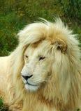 Fronte bianco del leone fotografie stock libere da diritti