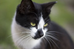 Fronte bianco nero del gatto su fondo verde Whi nero astuto abile Immagine Stock