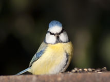 Fronte blu dell'uccello Immagine Stock Libera da Diritti
