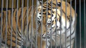 Fronte che cammina, animale ingabbiato, cattività crudele della tigre di Malnyan in uno zoo del circo video d archivio