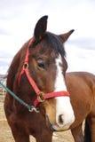 Fronte dei cavalli Immagini Stock