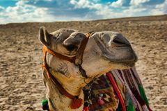 Fronte del cammello nell'Egitto immagine stock