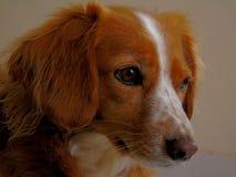 Fronte del cane immagini stock
