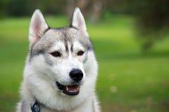 Fronte del cane del husky Fotografia Stock Libera da Diritti