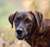 Fronte del cane delle isole Canarie Fotografie Stock
