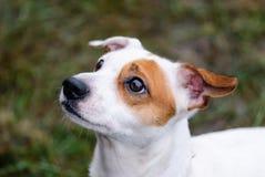 Fronte del cane di Jack Russell Terrier con la supplica dell'espressione fotografia stock