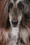 Fronte del cane di levriero afgano Immagini Stock