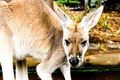 Fronte del canguro Fotografia Stock