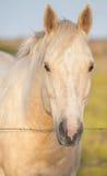Fronte del cavallo del palomino Fotografia Stock Libera da Diritti