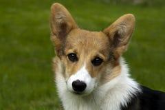 Fronte del cucciolo Fotografia Stock