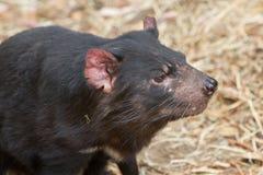 Fronte del diavolo tasmaniano immagini stock libere da diritti