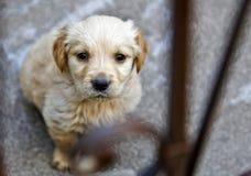 Fronte del documentalista dorato del Labrador in ciotola di zucchero Fotografia Stock Libera da Diritti