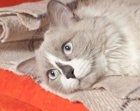 Fronte del gatto Fotografie Stock Libere da Diritti