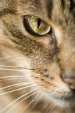 Fronte del gatto Fotografia Stock