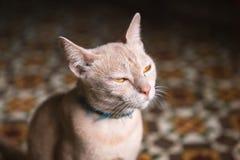 Fronte del gatto arrabbiato che attenua gli occhi Fotografie Stock Libere da Diritti