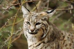 Fronte del gatto selvatico Fotografie Stock