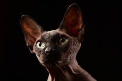 Fronte del gatto Sphynx Immagine Stock