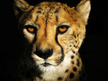 Fronte del ghepardo Fotografia Stock