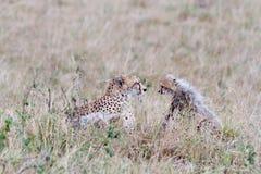 Fronte del ghepardo del bambino e della madre Immagine Stock