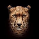 Fronte del ghepardo isolato su fondo nero Immagini Stock