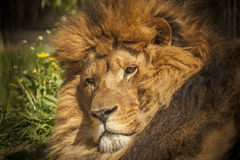 Fronte del leone Immagini Stock Libere da Diritti