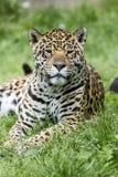 Fronte del leopardo Fotografia Stock Libera da Diritti