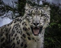 Fronte del leopardo delle nevi Fotografia Stock