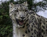 Fronte del leopardo delle nevi Fotografie Stock