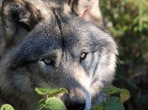 Fronte del lupo Immagini Stock