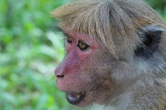 Fronte del macaco del Toque, Sri Lanka Immagini Stock