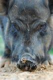 Fronte del maiale Fotografie Stock