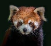 Fronte del panda minore immagine stock libera da diritti