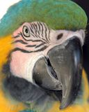 Fronte del pappagallo Immagine Stock