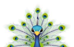 Fronte del pavone isolato su bianco Immagini Stock