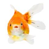 Fronte del pesce rosso di Pearlscale Fotografia Stock