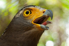 Serpente-Eagle. Fotografie Stock Libere da Diritti