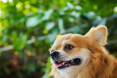Fronte del ` s del cane della chihuahua Immagini Stock