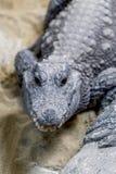 Fronte dell'alligatore Fotografie Stock Libere da Diritti