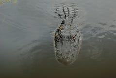 Fronte dell'alligatore che viene in avanti Immagini Stock