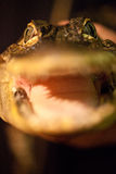Fronte dell'alligatore del bambino Fotografia Stock Libera da Diritti