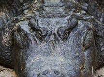 Fronte dell'alligatore grasso su terra Fotografia Stock